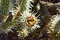 Wolf's Cholla blossom - Anza Borrego.jpg