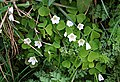 Wood-sorrel - Oxalis acetosella - geograph.org.uk - 157337.jpg