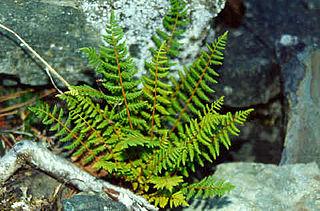 <i>Woodsia oregana</i> species of plant