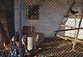 Xàbia, galliner per Tarraula.jpg