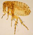 Xenopsylla cheopis ZSM.jpg