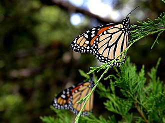 Monarch Butterflies during their winter migration on an eastern juniper tree in Northern Texas