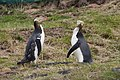 Yellow-Eyed Penguins in Dunedin, NZ.jpg