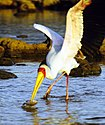 Yellow-billed stork fishing.jpg