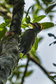Yellow-browed Woodpecker - Brazil.jpg