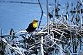 Yellow-headed blackbird (5674044850).jpg