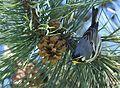 Yellow-throated Warbler (26282067332).jpg