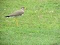 Yellow-wattled lapwing (Vanellus malabaricus).jpg
