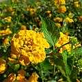 Yellow Flower Of A Warm Day (84993333).jpeg