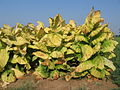 Yellowing tobacco.JPG