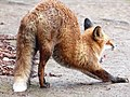 Young Red Fox stretching.jpg