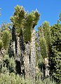 Yucca brevifolia 1.jpg