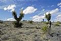 Yucca faxoniana fh 1180.44 BB.jpg