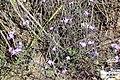Zakynthos flora (det.) (35110228853).jpg