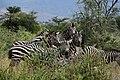 Zebras, Yabello Wildlife Sanctuary (5) (29241757966).jpg