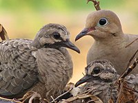 A mourning dove parent sitting with two chicks in a nest
