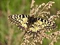 Zerynthia polyxena Russia.jpg