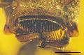 Zigrasimecia ferox JWJ-Bu18a closeup of mandibles.jpg