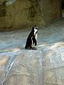 Zoo de Vincennes, Juin 2007 - Pingouin.jpg
