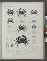 Zoologie. Crustacés. Crabes-nageurs, Crabes proprement dits (NYPL b14212718-1268553).tiff