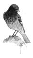 Zwarte roodstaart Phoenicurus ochruros Jos Zwarts 4.tif