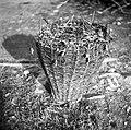 """""""Oprtnjak"""" z deteljo (koš), Gabrk 1955.jpg"""