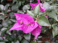 """a close up of Bougainvillea"".jpg"