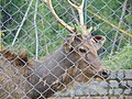 'Sambar Deer of Kuruvampatti Zoo'.jpg