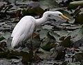 (1)Egret feeding 023.jpg