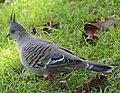 (1)crested pigeon Centennial Park 045.jpg