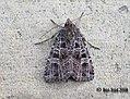 (2136) Gothic (Naenia typica) (3174523639).jpg