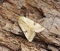 (2403) Bordered Straw (Heliothis peltigera) (18619610060).jpg