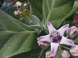 (Arya) Calotropis gigantea flower Pilangsari 2019.jpg