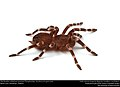 (Pet) Brazilian whiteknee tarantula (Theraphosidae, Acanthoscurria geniculata) (37337814861).jpg