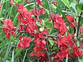 Актинідія китайська. Хорольський ботанічний сад.jpg