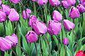 Виставка тюльпанів 09.JPG