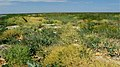 Галофітна рослинність на узбережжі Молочного лиману.jpg