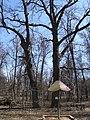 Дуб черешчатый, Москва 02.jpg