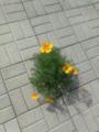 Растение рода Эшшольция. В России, выросло в тротуарной плитке.png
