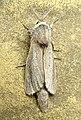 Сверлило камышевое - Phragmataecia castaneae - Reed leopard - Rohrbohrer (33640498923).jpg