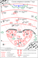 Схема опорного пункта мотострелковой роты.png