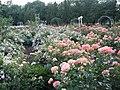 Троянди в ботанічному саду ТНУ імені В. І. Вернадського.jpg