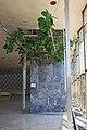 Фикус у Дому културе Чачак, Заштићено природно добро III категорије 06.jpg