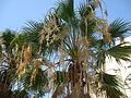 Цветение финиковой пальмы.JPG