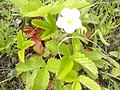 """Цветок ягоды садовой Виктория (""""долгоиграющий сорт"""").jpg"""