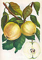 Яблоня-'Налив-Белый'.jpg