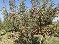 نمونه ای از یک درخت سیبب سرخ اوغاز.jpg