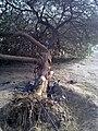 പ്രോസൊപിസ് സിനറാറിയ (Prosopis cineraria) by irvin calicut (3).jpg