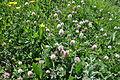 სამყურა თეთრი Trifolium repens.JPG