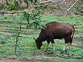 'Wild ox of Kuruvampatti Zoo'.jpg